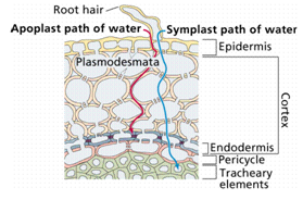 375_endodermis].png